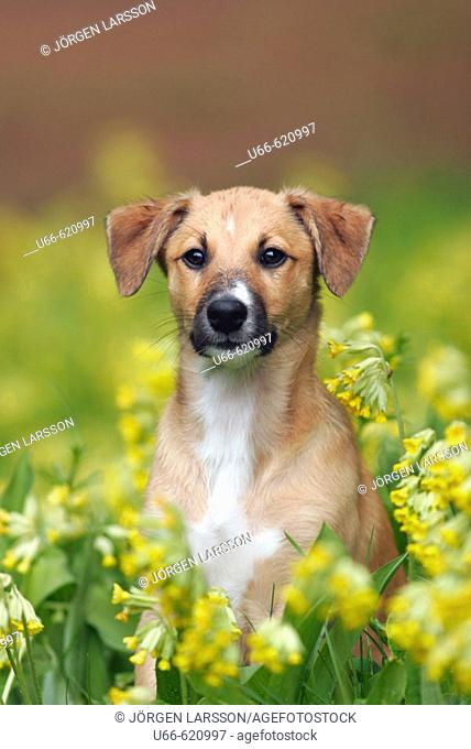 Puppy and cowslips (primula veris)