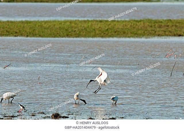 Thailand, Thale Noi, Black-headed Ibis, Threskiornis melanocephalus, flying, 11/03/2014