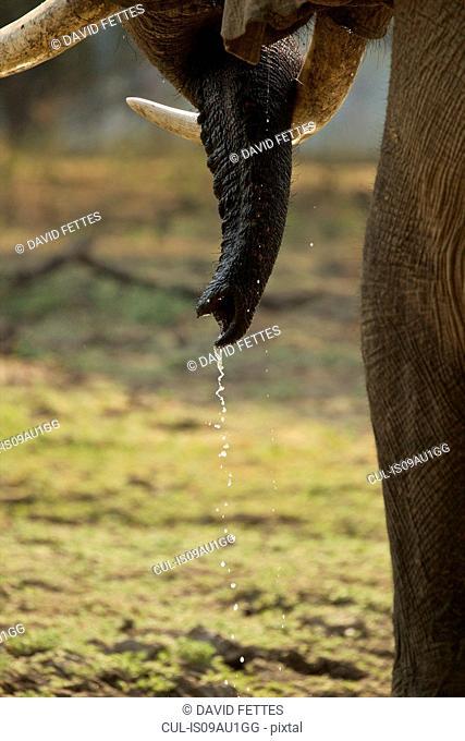 Bull elephant (Loxodonta africana), close-up of tusks, Mana Pools National Park, Zimbabwe