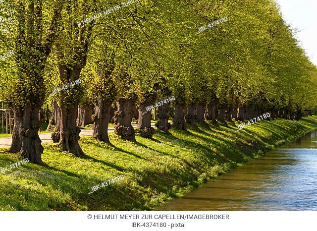 Large-leaved linden, Large-leaved lime (Tilia platyphyllos), row of trees in spring, moat of Bothmar castle, Klütz, Mecklenburg-Vorpommern, Germany