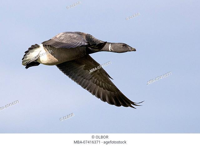 Brent goose, Branta bernicla, in flight