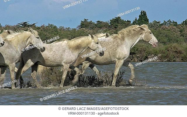 Camargue Horse, Herd walking through Swamp, Saintes Marie de la Mer in The South of France, Real Time