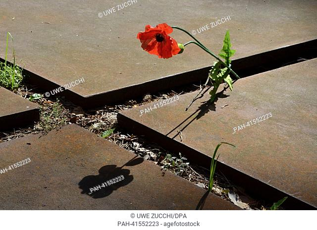 A poppy blooms in the Katyn Memorial near Smolensk, Russia, 02 August 2013. During WWII, more than 4, 000 Polish intelligence officers and their relatives were...