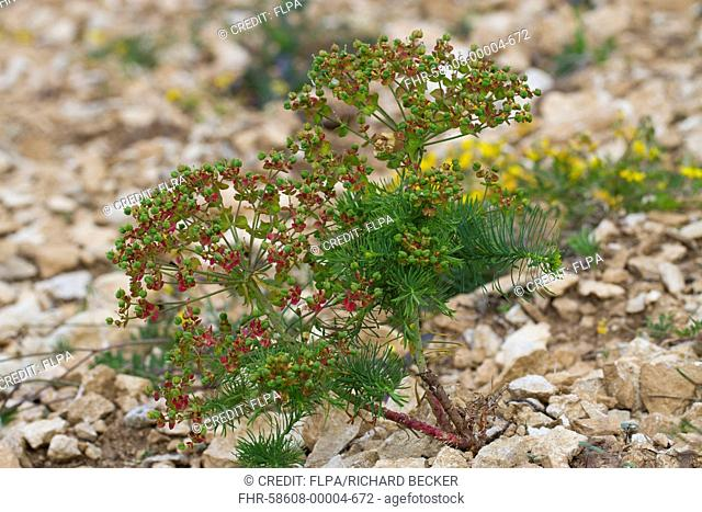Cypress Spurge (Euphorbia cyparissias) in fruit, growing in broken limestone, Causse de Gramat, Massif Central, Lot Region, France, May