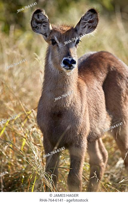 Common Waterbuck (Ellipsen Waterbuck) (Kobus ellipsiprymnus ellipsiprymnus) calf, Kruger National Park, South Africa, Africa