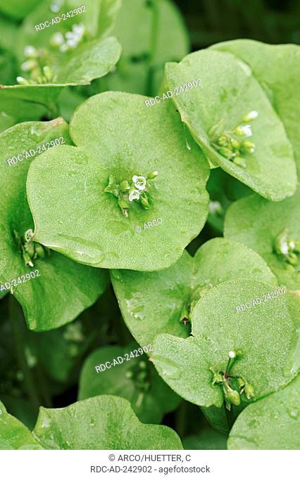 Miner's Lettuce Claytonia perfoliata Montia perfoliata Winter Purslane Spring Beauty Springbeauty Indian Lettuce