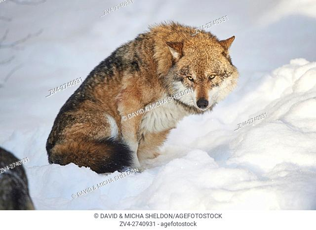 Close-up of a Eurasian wolf (Canis lupus lupus) in a snowy winter