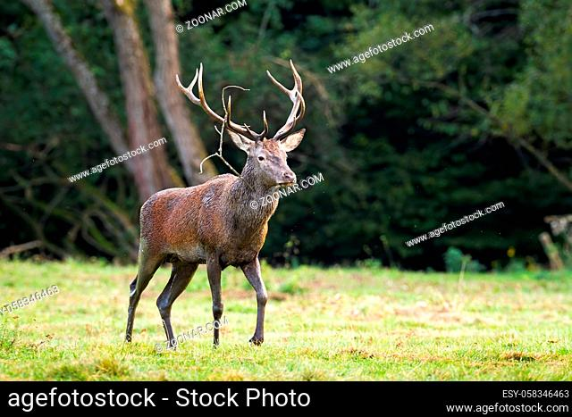Majestic red deer, cervus elaphus, stag passing in refreshing nature scenery with copy space. Wild animal covered with mud walking on a glade