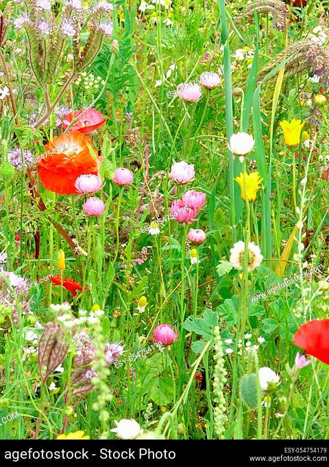 Teilansicht einer Blumenwiese