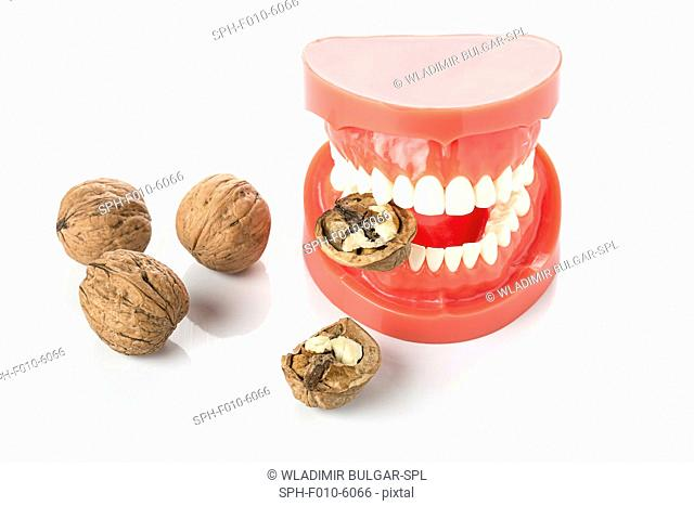 Model of the human jaw with walnuts