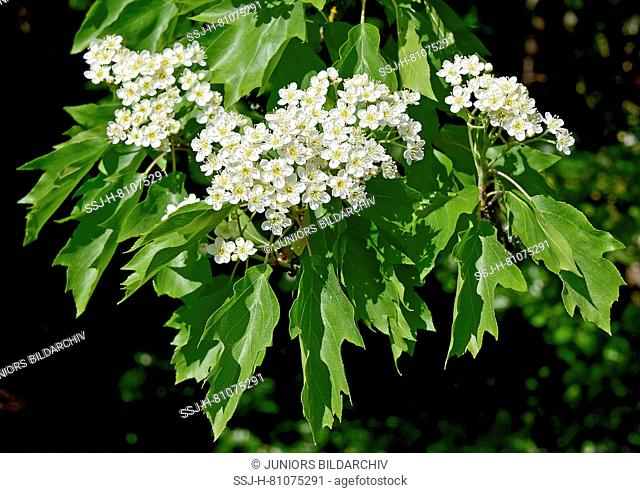 Wild Service Tree, Chequers Tree, Checkers Tree (Sorbus torminalis). Twigs with leaves and flowers. Germany