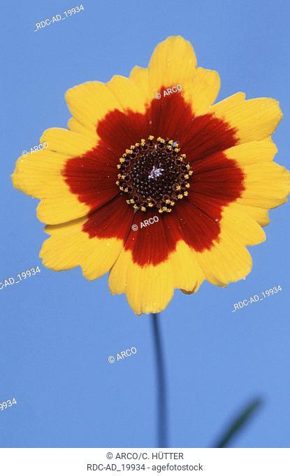 Maedchenauge Coreopsis tinctoria