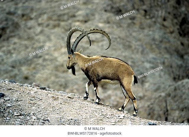Nubian ibex Capra nubiana, Capra ibex nubiana, male walking along a ridge, Israel, Negev