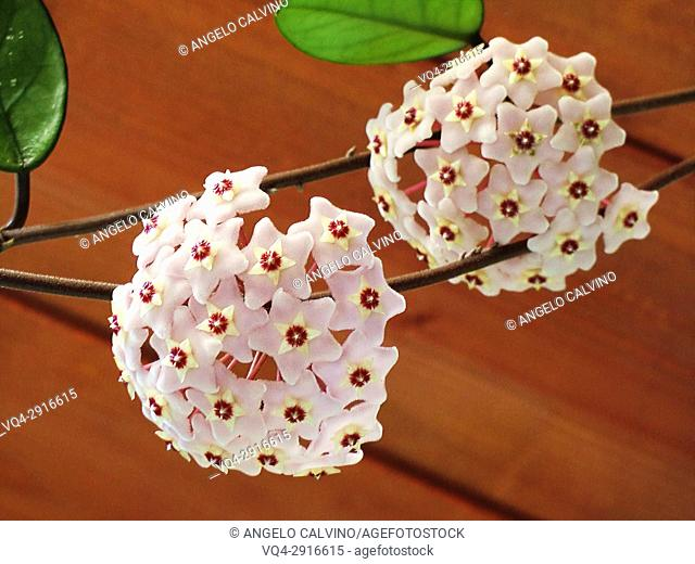 Close-up of wax plant (Hoya carnosa) in bloom