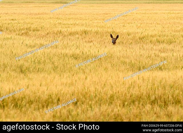 29 June 2020, Saxony-Anhalt, Zeppernick: A deer looks over the high ears of a corn field. In the Jerichower Land it has become summer