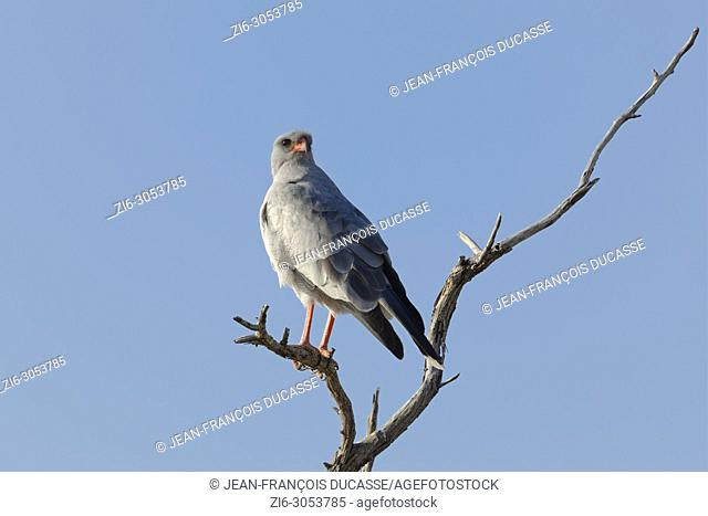 Pale chanting goshawk (Mielerax canorus), sitting on top of a tree, looking for prey, Etosha National Park, Namibia, Africa