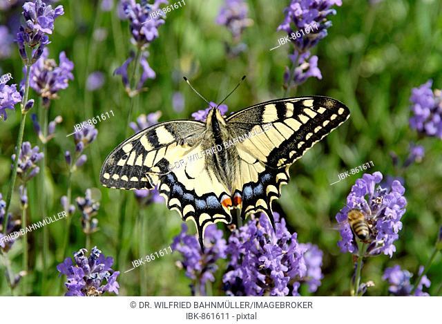 Old World Swallowtail (Papilio machaon), butterfly, on Blue Lavendar (Lavendula)