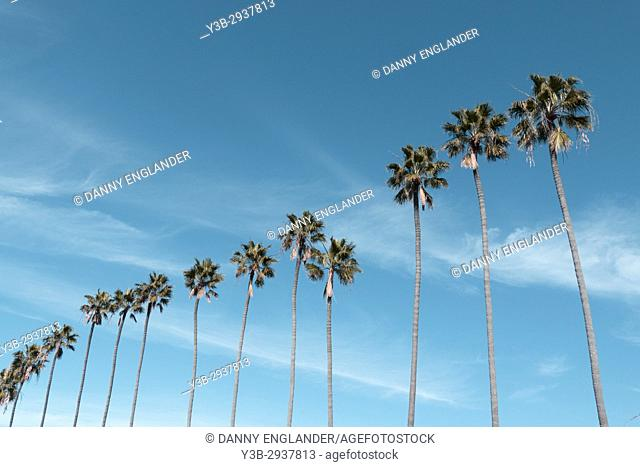 A row of tall palm trees in southern California with a clear turquoise sky