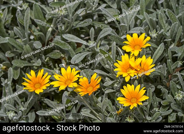 Close-up of yellow flowers in the vineyards of the Vergelegen historic wine estate in Somerset West, in the Western Cape province of South Africa near Cape Town