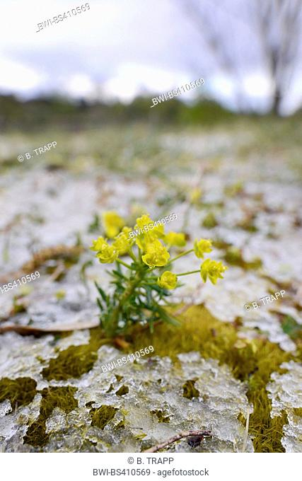 cypress spurge (Euphorbia cyparissias), blooming between moss with melting ice, Germany