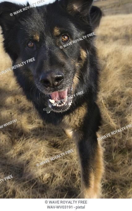 Black and brown mixed Breed Dog walks toward camera , Canada, Alberta