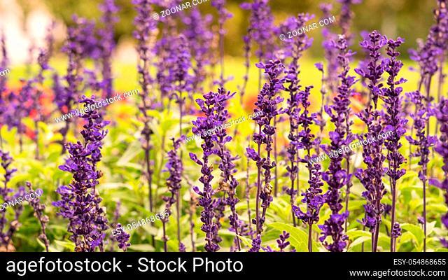 Lavendula Hidcote, Lavendula L. angustifolia, field with blurred background