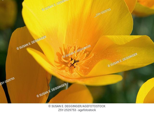 Mexican Gold Poppy (Escholzia californica ssp. mexicana), Arizona, USA, North America