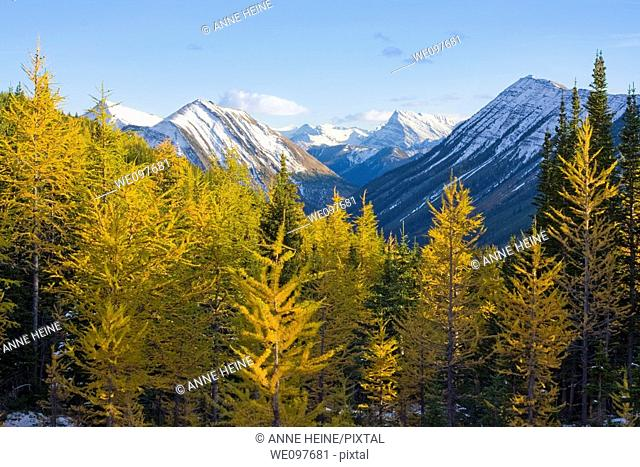 yellow larches in mountains