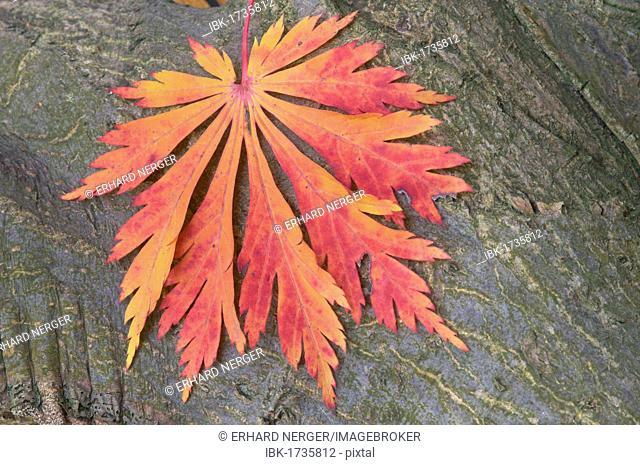 Japanese Maple or Fullmoon Maple (Acer japonicum cultivar Aconitifolium), leaf