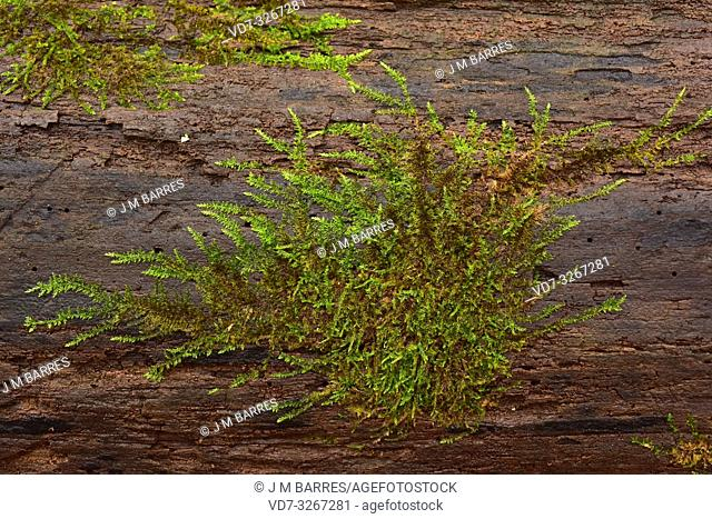 Cypress-leaved plaitmoss (Hypnum cupressiforme) is a cosmopolitan moss. This photo was taken in Dalby National Park, Sweden