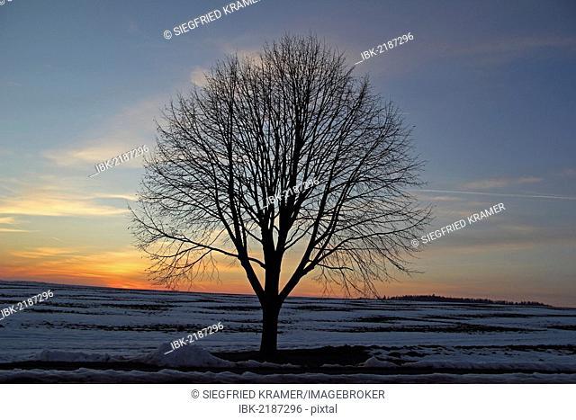 Solitary tree in a winter landscape, dusk, Biberach district, Upper Swabia, Germany, Europe