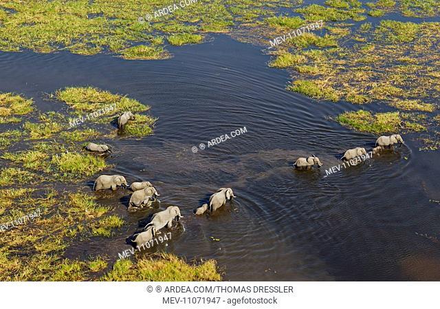 African Elephant breeding herd crossing a stream aerial view - Okavango Delta, Moremi Game Reserve, Botswana