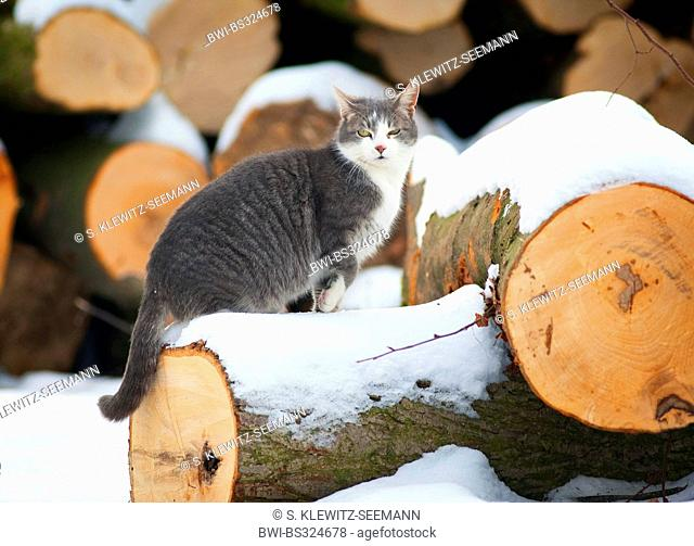 domestic cat, house cat (Felis silvestris f. catus), climbing on slabbed tree trunks, Germany