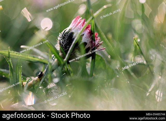Rising daisy in wet meadow, close-up, Bellis perennis
