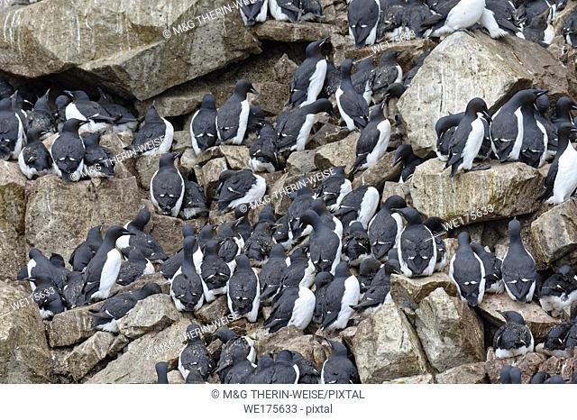 Thick-billed Murres (Uria lomvia) or Brunnich's guillemots colony, Alkefjellet bird cliff, Hinlopen Strait, Spitsbergen Island, Svalbard archipelago, Norway