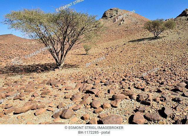 Acacia trees in Wadi Tiwi, rocky desert, Hajar al Gharbi Mountains, Al Dhahirah Region, Sultanate of Oman, Arabia, Middle East