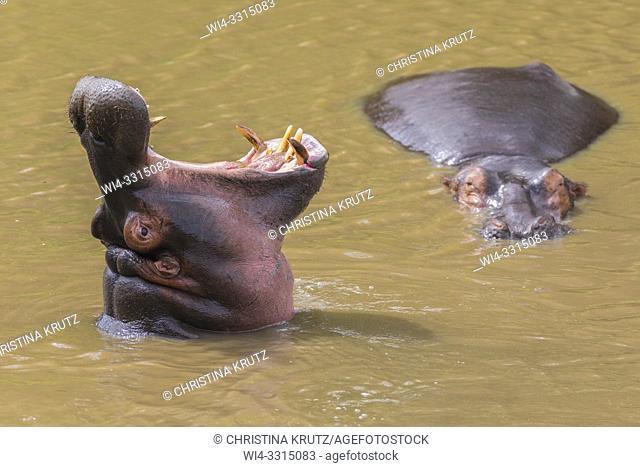 Wild hippopotamus (Hippopotamus amphibus) displaying dominance in a river, Masai Mara National Reserve, Kenya, Africa