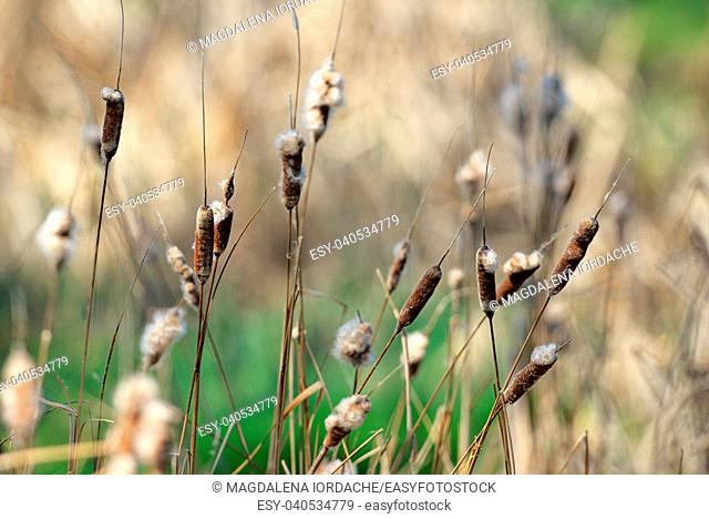 Reed plant near lake in spring time