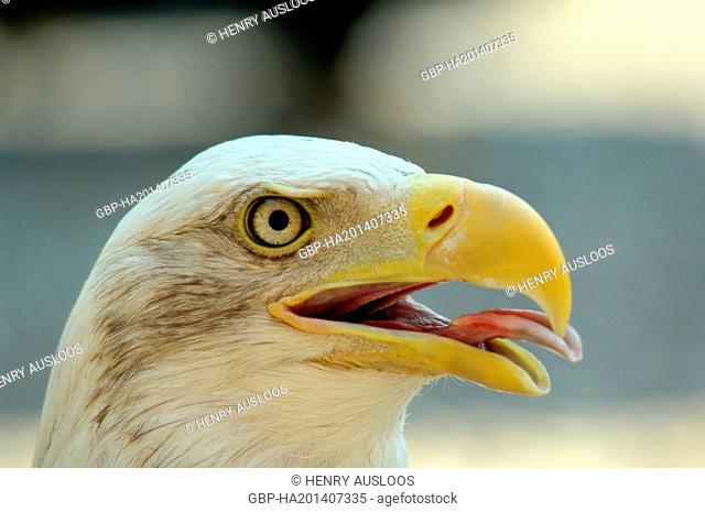 Bald Eagle (Haliaetus leucocephalus) - Portrait - Northern America