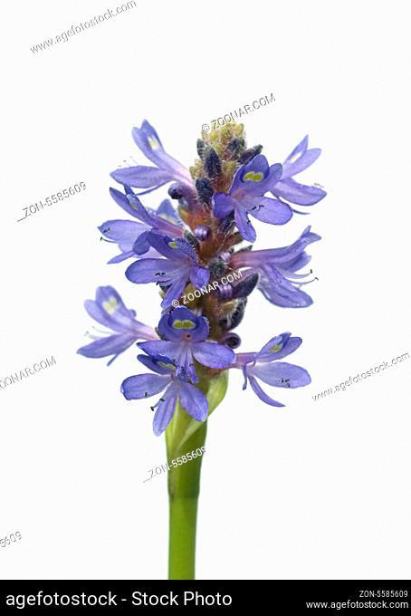 Hechtkraut, Pontederia cordata, Wasserpflanzen -