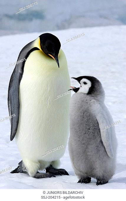 Emperor Penguin (Aptenodytes forsteri). Adult with yawning chick standing on ice. Snow Hill Island, Antarctica
