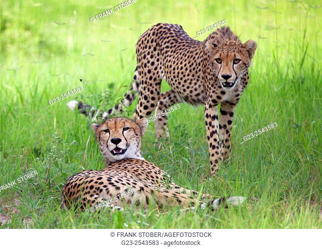 Two cheetah. Ruaha National Park , Tanzania