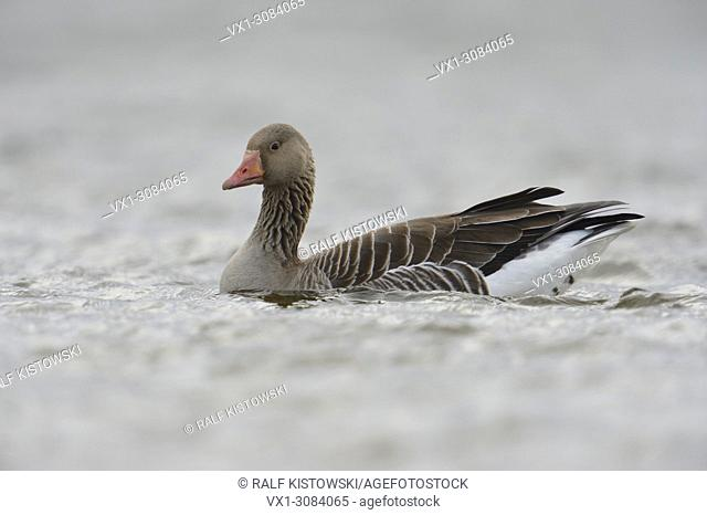 Greylag Goose ( Anser anser ), one adult, swims close by, on open water, detailed side view, in dull, dim, weather, wildlife, Europe