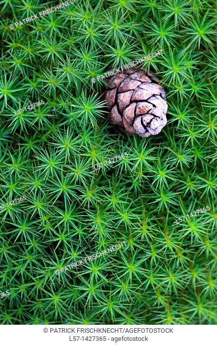 Star Moss, Haircap moss, hair moss Frauenhaarmoos, Polytrichum formosum, Cairngorms NP, Scotland