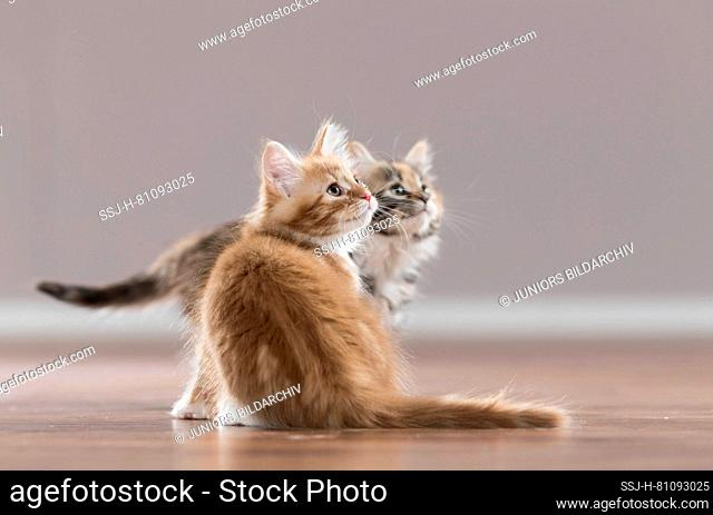 Maine Coon. American Longhair. Two kittens on parquet. Germany