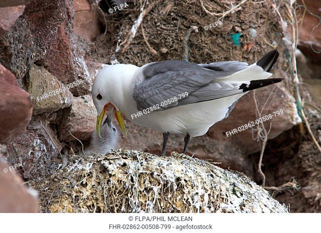 Kittiwake Rissa tridactyla adult, regurgitating food, feeding chick at nest, Dunbar Castle, Dunbar Harbour, East Lothian, Scotland, summer