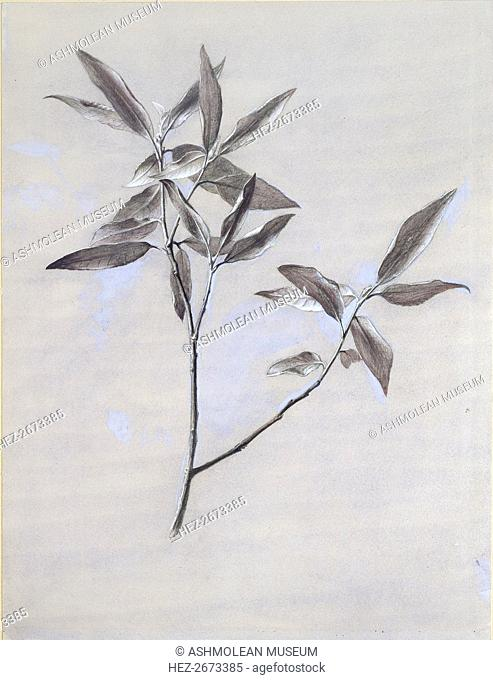 Under-surface of a dried Spray of Olive, gathered at Verona, after 1878. Artist: John Ruskin