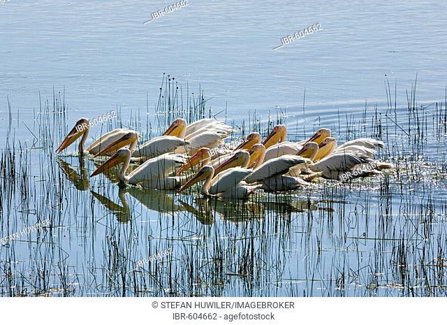 Group of White Pelicans (Pelecanus onocrotalus) hunting together for fish Lake Nakuru Kenya Africa