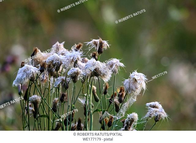 Wild flowers. Deflorate flowers. Rural flowers on a green grass. Meadow with rural flowers. Wild flowers. Nature flower. Weed on field