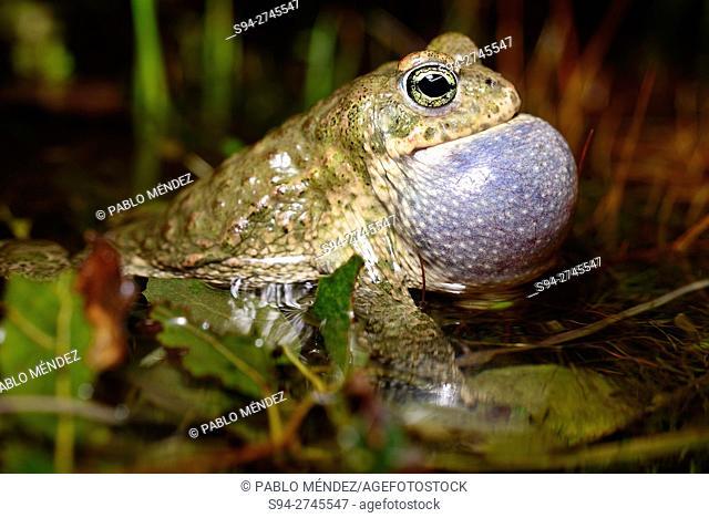 "Natterjack toad """"Bufo calamita"""", singing in a ponds of Roblellano, La Cabrera, Spain"